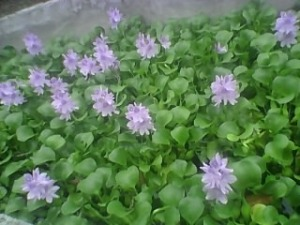 """The Hyacinth Lily or Water Hyacinth"""